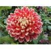 大丽花种苗、大丽花批发价格、菏泽大丽花种植