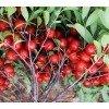 钙果苗、山西钙果苗、农大新品种钙果苗培育基地