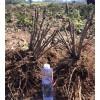 观赏牡丹苗 菏泽优选牡丹种苗  价格优惠
